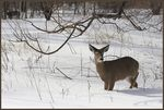 Title: Bambi in the snow