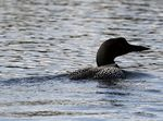 Title: Loon