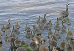 Title: Goslings, lots of them