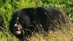 Title: Asiatic Black Bear