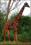 Title: Giraffa with the artificial limb