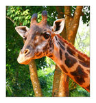 Title: The Head Part Of Giraffe