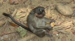 Title: Monkey With Cracker