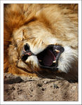 Title: The Yawning Lion