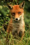 Title: Old red fox