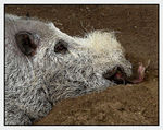 Title: Bearded Pig