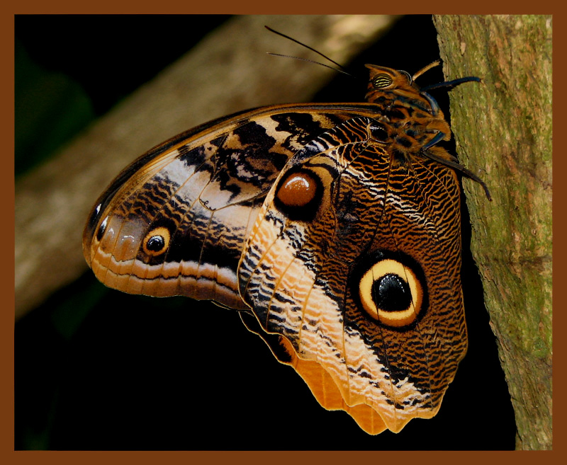 Owl butterfly life cycle - photo#20