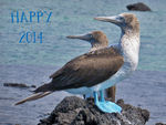 Title: Blue-Footed Boobies