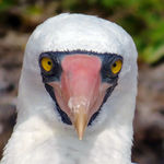 Title: Nazca Booby