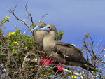 Title: Red-footed Booby Pair