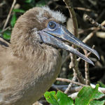 Title: Red-footed Booby Chick