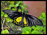 Title: Common Birdwing