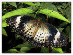 Title: Leopard Lacewing
