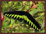 Title: Rajah Brooke Birdwing