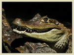 Title: Spectacled Caiman