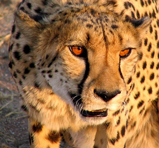 cheetah conservation?