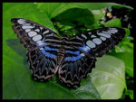 Title: The Malaysian Blue Clipper