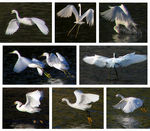 Title: Dance of the Egrets