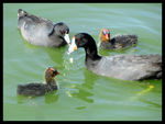 Title: Coot Family