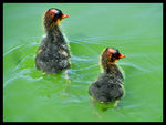 Title: Baby Coots