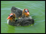 Title: Coot Chicks
