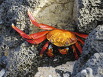 Title: Sally Lightfoot Crab