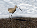 Title: Long-billed Curlew