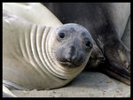 Title: Young Elephant Seal