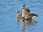 Title: Greater White-fronted Geese
