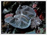 Title: Giant Clam