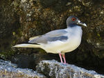 Title: Scissor-tailed Gull