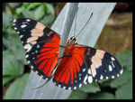 Title: Hamadryas Butterfly