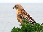 Title: Red-shouldered HawkCanon Powershot SX230IS