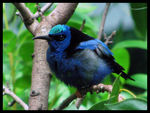 Title: Red-legged Honeycreeper