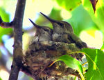 Title: Baby Hummingbirds