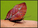 Title: Malay Leaf Butterfly