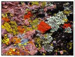 Title: Lichen on Rock Camera: Canon Powershot S1-IS