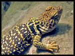 Title: Collared Lizard