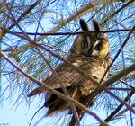 Title: Long-eared Owl Camera: Canon Powershot S1-IS