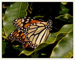 Title: Monarch Resting