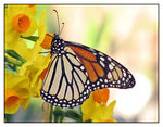 Title: Monarch on Daffodils