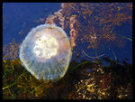 Title: Moon Jelly