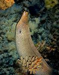 Title: Honeycomb Moray Eel