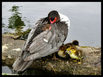Title: Muscovy Duck Family