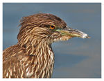 Title: Young Night Heron