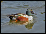 Title: Northern Shoveler