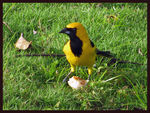 Title: Yellow-tailed Oriole