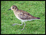 Title: Pacific Golden Plover