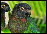 Title: Yellow-streaked Lories