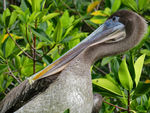 Title: Galapagos Brown Pelican